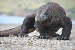 Известный дракон Komodo Стоковые Фотографии RF