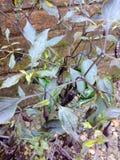 Известный chili Индии главным образом известный в Асоме стоковая фотография