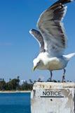 Извещение о чайки Стоковое Фото