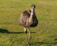 Извиваясь страус Стоковая Фотография RF