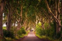 Изгороди темноты в Северной Ирландии на заходе солнца Стоковое Фото