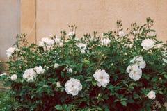 Изгородь белых роз стоковая фотография