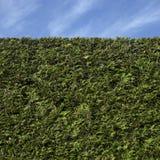 Изгородь кедра Стоковое фото RF