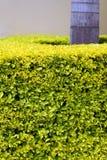изгородь тропическая Стоковая Фотография