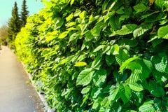 Изгородь Carpinus Betulus граба в лете стоковая фотография