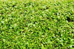 Изгородь evergreen стоковое изображение rf