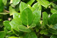 Изгородь, вечнозелёное растение, конец-вверх Стоковые Изображения RF