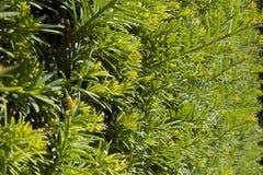 Изгородь дерева Yew Стоковые Фото