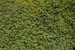 Изгородь дерева Yew Стоковые Фотографии RF