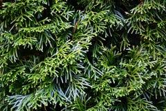 Изгородь ели Стоковые Изображения RF