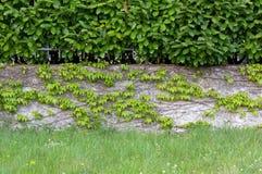 Изгородь над плющом покрыла стену Стоковое Изображение