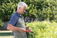 Изгородь садовника подрезая Стоковая Фотография RF