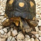 Излучаемая черепаха в Мадагаскаре Стоковые Фото
