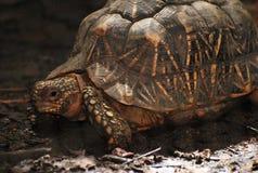 Излучаемая черепаха идя на тинную землю Стоковое Изображение RF