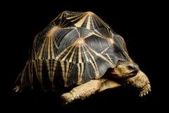 излучаемая черепаха Стоковое фото RF