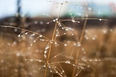 Изменение концепции сезонов: капельки на увяданной желтой траве, тростники тумана в последнем утре осени стоковое изображение rf