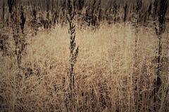 Изменение концепции сезонов: капельки на увяданной желтой траве, тростники тумана в последнем утре осени стоковое фото rf