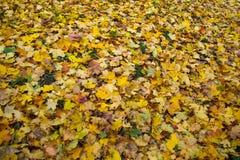 Изменение цвета осени сезон красочный, с дублированиями листьев красного цвета и желтого цвета Стоковое Фото
