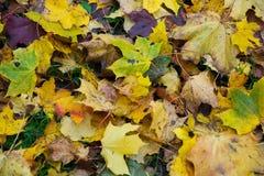 Изменение цвета осени сезон красочный, с дублированиями листьев красного цвета и желтого цвета Стоковое Изображение