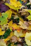 Изменение цвета осени сезон красочный, с дублированиями листьев красного цвета и желтого цвета Стоковые Изображения RF
