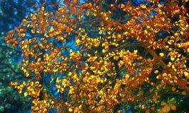 Изменяя листья Aspen во время красочного сезона падения против голубого неба стоковые изображения rf
