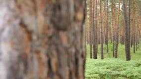 Изменяя сезоны от зимы Snowy к лету в диком сосновом лесе сток-видео
