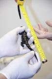 Измерять младенца крокодила Стоковые Изображения RF