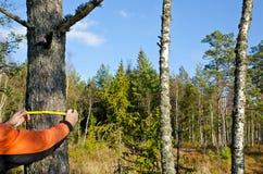 Измерять ствол дерева Стоковое Изображение RF