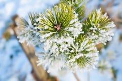 Изморозь на ветви сосны стоковые фотографии rf