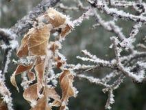 Изморозь на высушенных листьях в зиме стоковая фотография rf