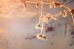 Изморозь на заводах в лесе зимы Стоковое Изображение RF