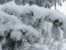 Изморозь на зеленой ели стоковые изображения
