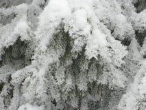 Изморозь на зеленой ели стоковое фото