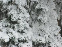 Изморозь на зеленой ели стоковое изображение