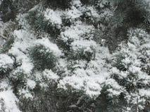 Изморозь на зеленой ели стоковые изображения rf