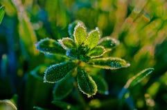 Изморозь на зеленом растении Стоковое фото RF