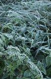Изморозь на листьях травы крапивы и осоки стоковая фотография rf