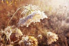 Изморозь на сухой траве в луге Frost покрыл траву или дикий fl стоковые изображения rf