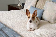 изнеженный щенок Стоковое Изображение RF