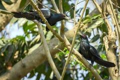 Изображение азиатского scolopaceus Eudynamys птицы koel Стоковые Фото