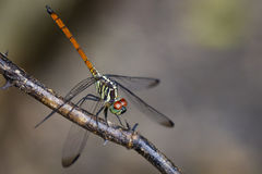 Изображение азиатской Dragonfly& замкнутого кровью x28; female& x29; стоковые фотографии rf