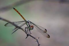 Изображение азиатской Dragonfly& замкнутого кровью x28; female& x29; стоковая фотография