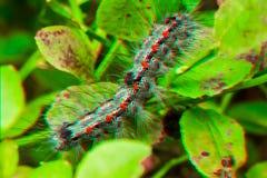 Изображение анаглифа 3D Цыганская сумеречница - с волосами гусеница & x28; Dispar& x29 Lymantria; Стоковое Изображение RF