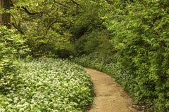 Изображение ландшафта весны одичалого чеснока растя в сочной зеленой передней части Стоковое Изображение RF