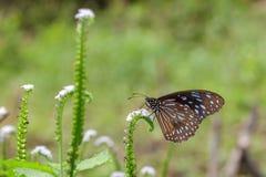 Изображение бабочки бледное - голубой тигр на предпосылке природы Стоковые Фото