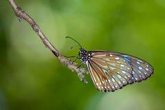 Изображение бабочки бледное - голубой тигр на предпосылке природы Стоковое Изображение RF