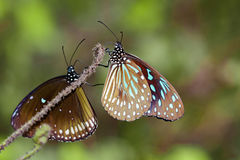 Изображение бабочки бледное - голубой тигр на предпосылке природы Стоковая Фотография RF