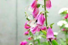 Изображение бабочки на розовой наперстянке в саде Стоковое Фото