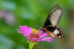 Изображение бабочки общего розовой на предпосылке природы насекомое Стоковое Фото