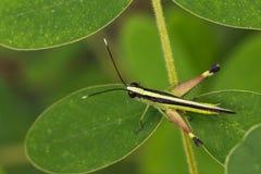 Изображение бело-наклоненного сахарным тростником кузнечика саранчи Стоковые Изображения